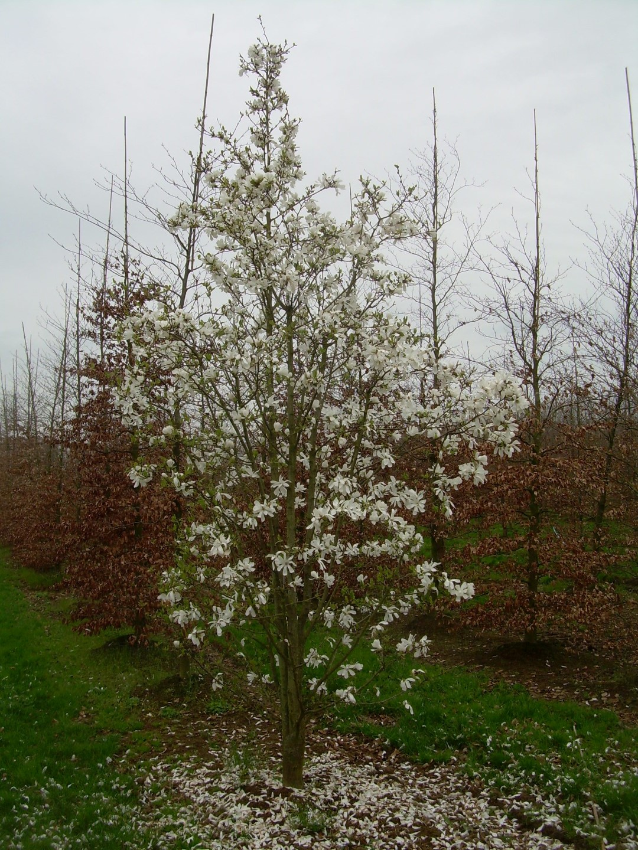 Magnolia Magnolia Kobus Arbre 10 Graines quantités remise!!!