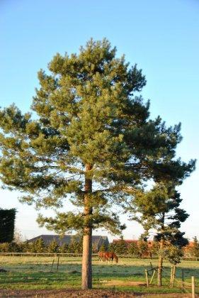 Pinus-sylvestris