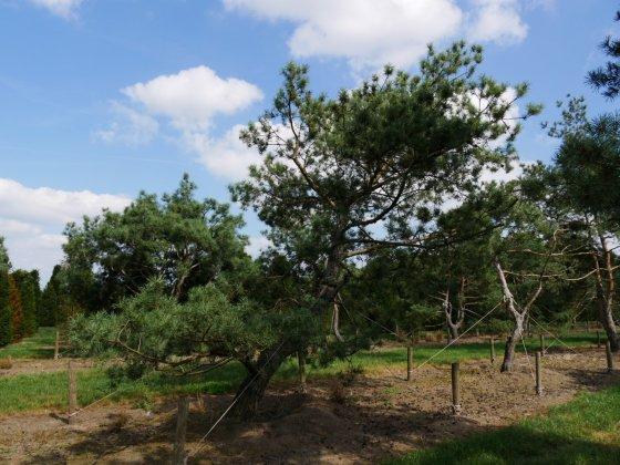 Pinus Sylvestris 10
