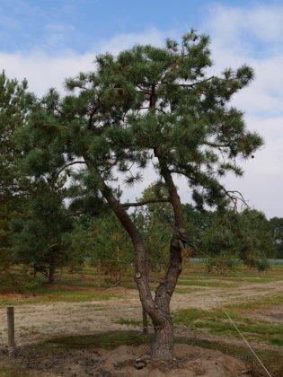 Pinus Sylvestris 11