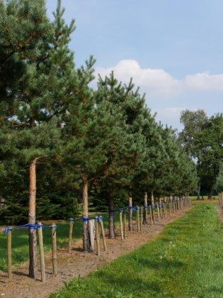 Pinus Sylvestris 2-1