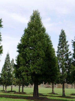 Sequoiadendron-giganteum