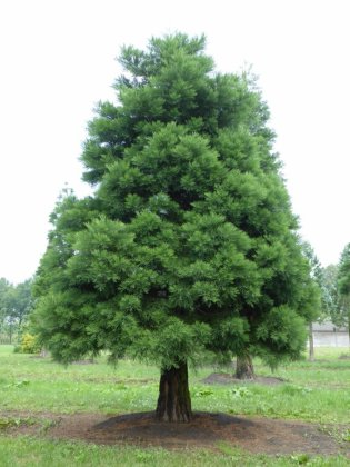 Sequoiadendron Giganteum 2