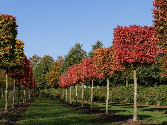 Parrotia persica blok op stam