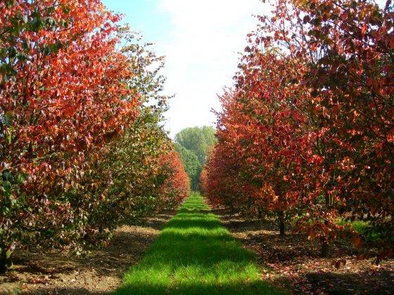 Parrotia persica rijtje in herfstkleuren