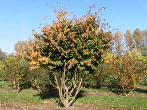 Meerstammige parrotia persica