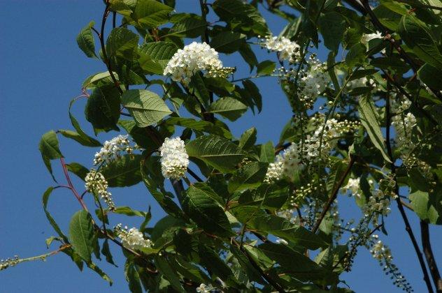 Prunus-padus-watereri