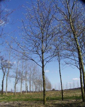 Prunus Padus Watereri-1
