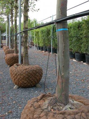 Bomen Met Kokoskluit 6-1