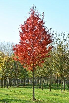 Acer Rubrum Brandywine 4